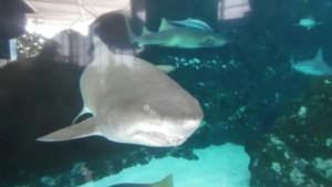 Einer der vielen Kattegat-Haie