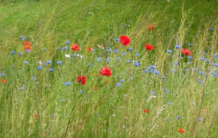 Wiesenblumen in korrekter niederländischer Farbgebung